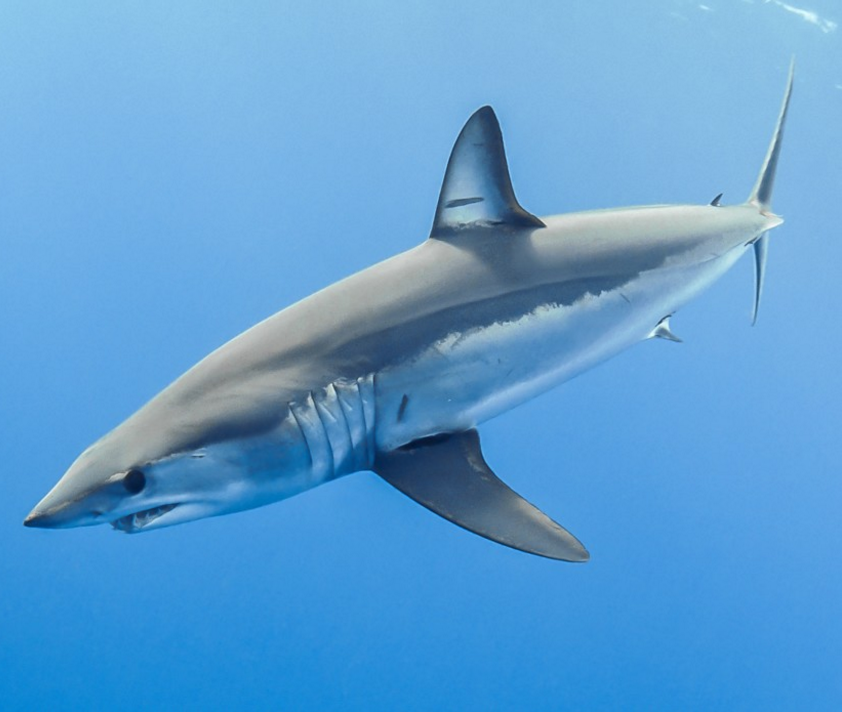 #Divers4Makos – Help end uncontrolled mako shark fishing now!